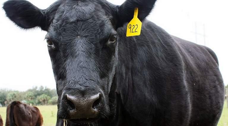 Robó César Duarte 900 vacas a pequeños ganaderos de Chihuahua