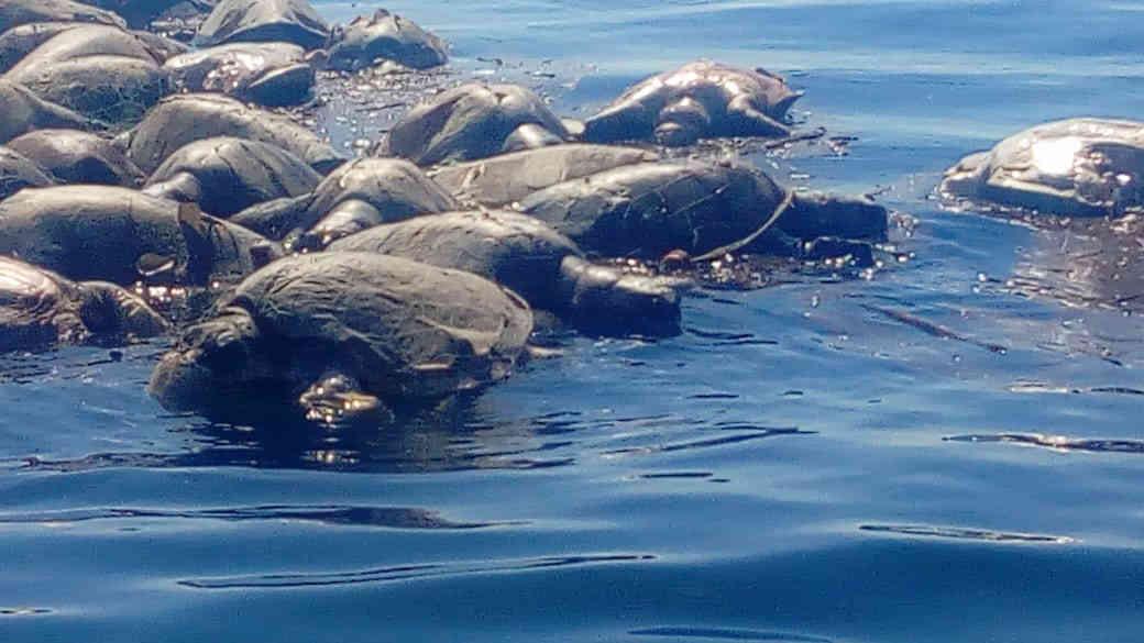Hallan más de 300 tortugas muertas atrapadas en trasmallo de barco en costas de Oaxaca
