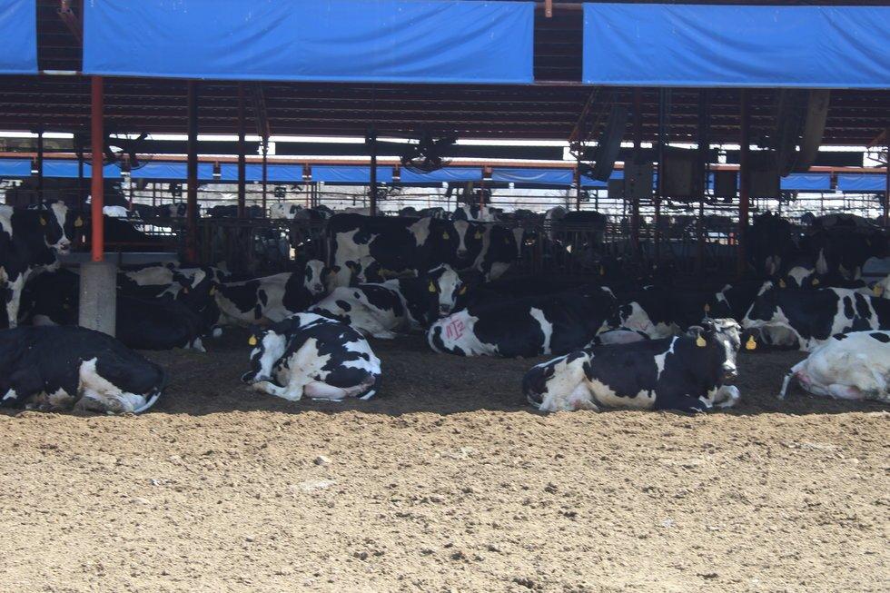 Un millón de toneladas de caca de vaca pone en riesgo a la Laguna (Durango)