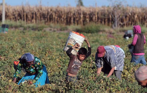 Oaxaca, principal exportador de niños Jornaleros agrícolas analfabetas, laboran en condiciones de alto riesgo de salud y prohibidas