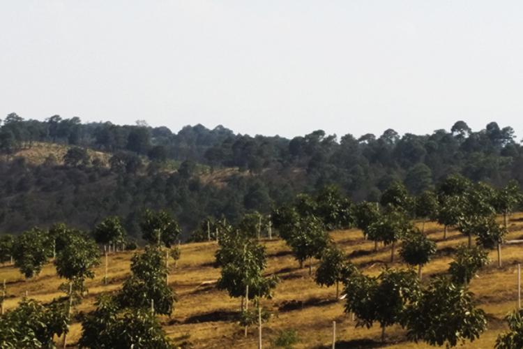 Costo ambiental del aguacate, a discutirse (Michoacán y Jalisco)