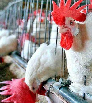 Granjas avícolas generan contaminación y despojos de tierras en Cedral (San Luis Potosí)