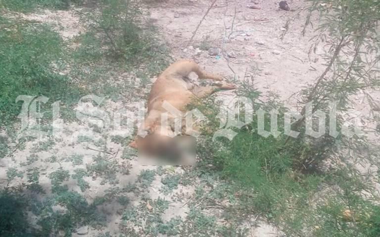 Acusan envenenamiento masivo de perros en centro de Altepexi (Puebla)