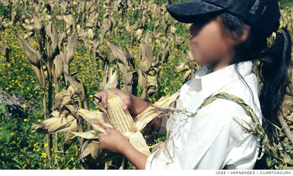 Niños jornaleros en Sinaloa, en riesgo de muerte: hasta 12 fallecen cada temporada