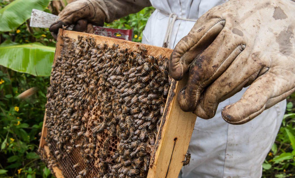 Desaparece el 50% de abejas  (San Luis Potosí)
