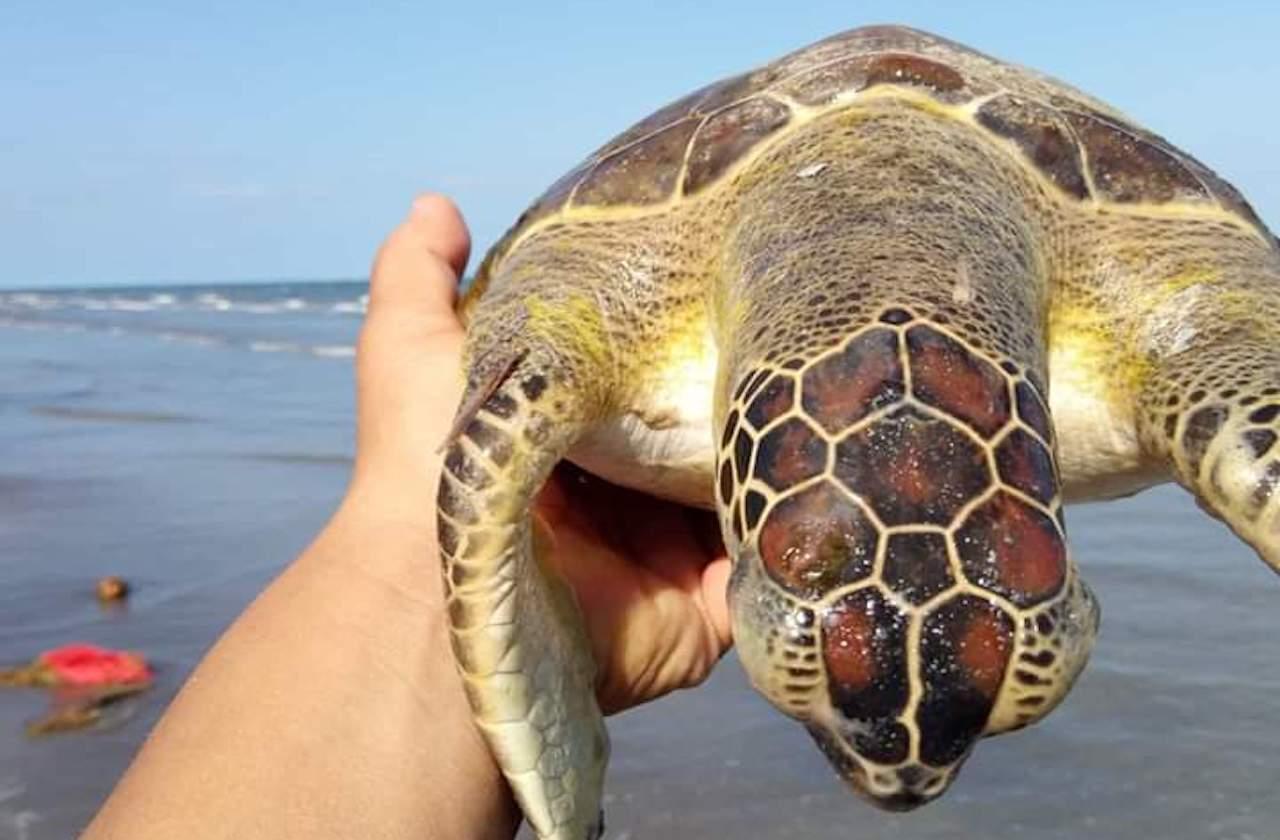 Exigen investigar muerte de tortugas en zona costera de Veracruz