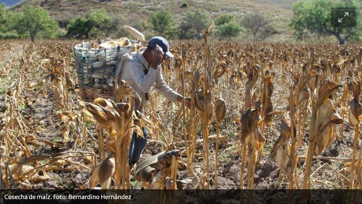 Mayas denuncian la siembra de soya y maíz transgénico en Hopelchén, Campeche