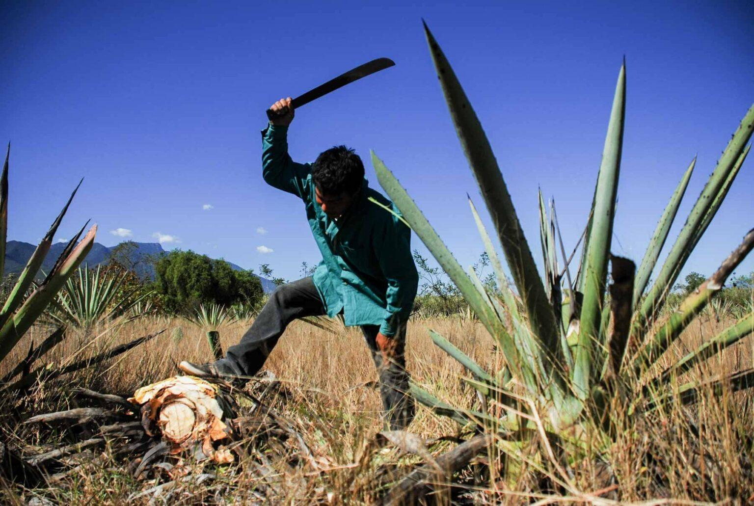 Las nuevas fronteras para la acumulación de la industria del agave en la región mixteca (Oaxaca)