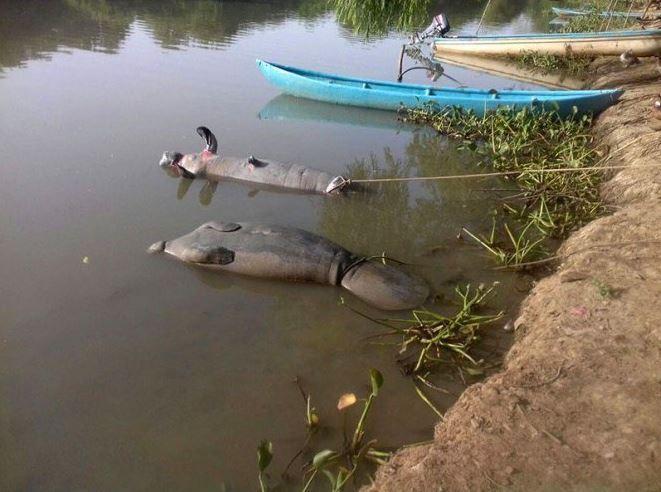 Sigue la muerte de manatíes en Tabasco por contaminación de ríos