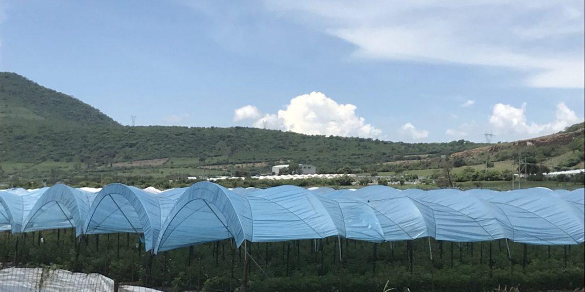 Invernaderos en Jocotepec: el fruto de la desigualdad (Jalisco)