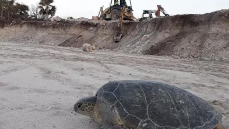 Semarnat aprobó proyecto hotelero que destruye el hábitat de tortugas marinas (Quintana Roo)