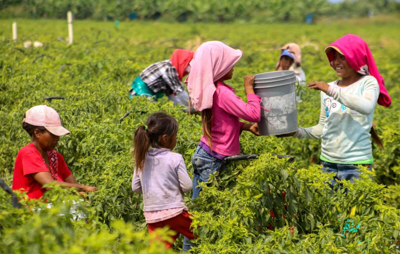 Jornaleros agrícolas de Michoacán sufren de explotación en el campo
