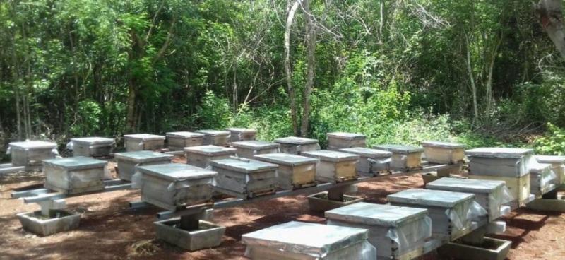 Incrementa contaminación por siembra de soya transgénica en más de 70 mil hectáreas de la Península de Yucatán, alertan apicultores