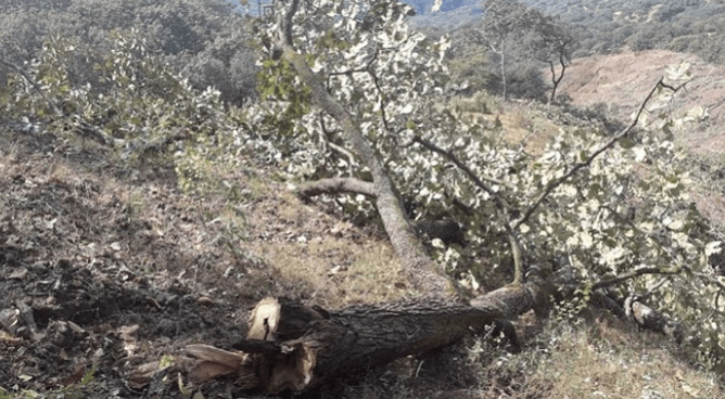 Exigen comunidades indígenas a Peña Colorada frenar tala de árboles (Colima)
