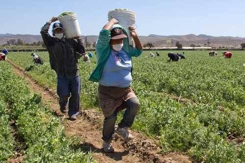 Jornaleros agrícolas en riesgo de contagio de COVID-19 por condiciones de vivienda y movilidad: El Colef