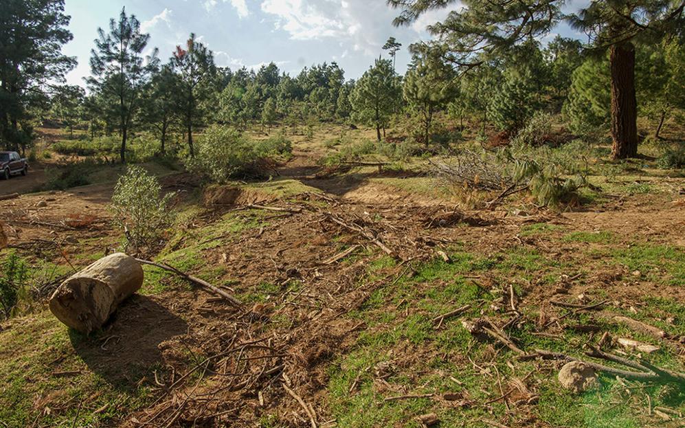 La pandemia amenaza los bosques de Michoacán que cuidaban los resineros