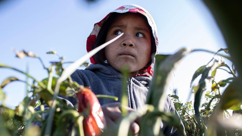 Explotación infantil: la niña rarámuri que perdió su edad recolectando chiles