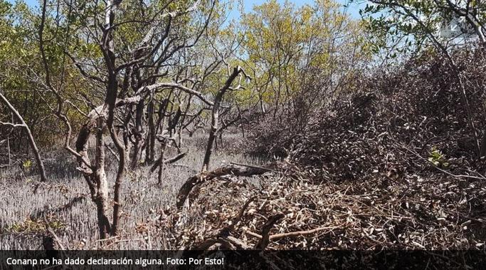 Denuncian nula actuación de Conanp contra el ecocidio de manglares en Holbox : Video  (Quintana Roo)
