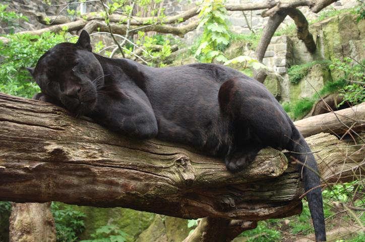 Tren Maya amenaza a los jaguares de la Península